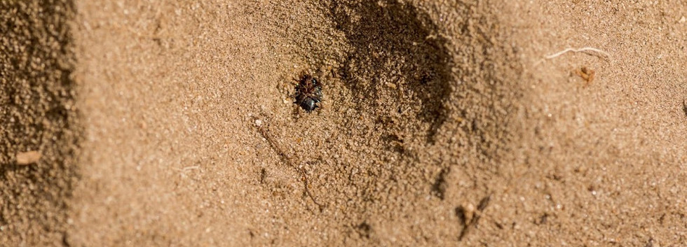 mierenleeuw.jpg