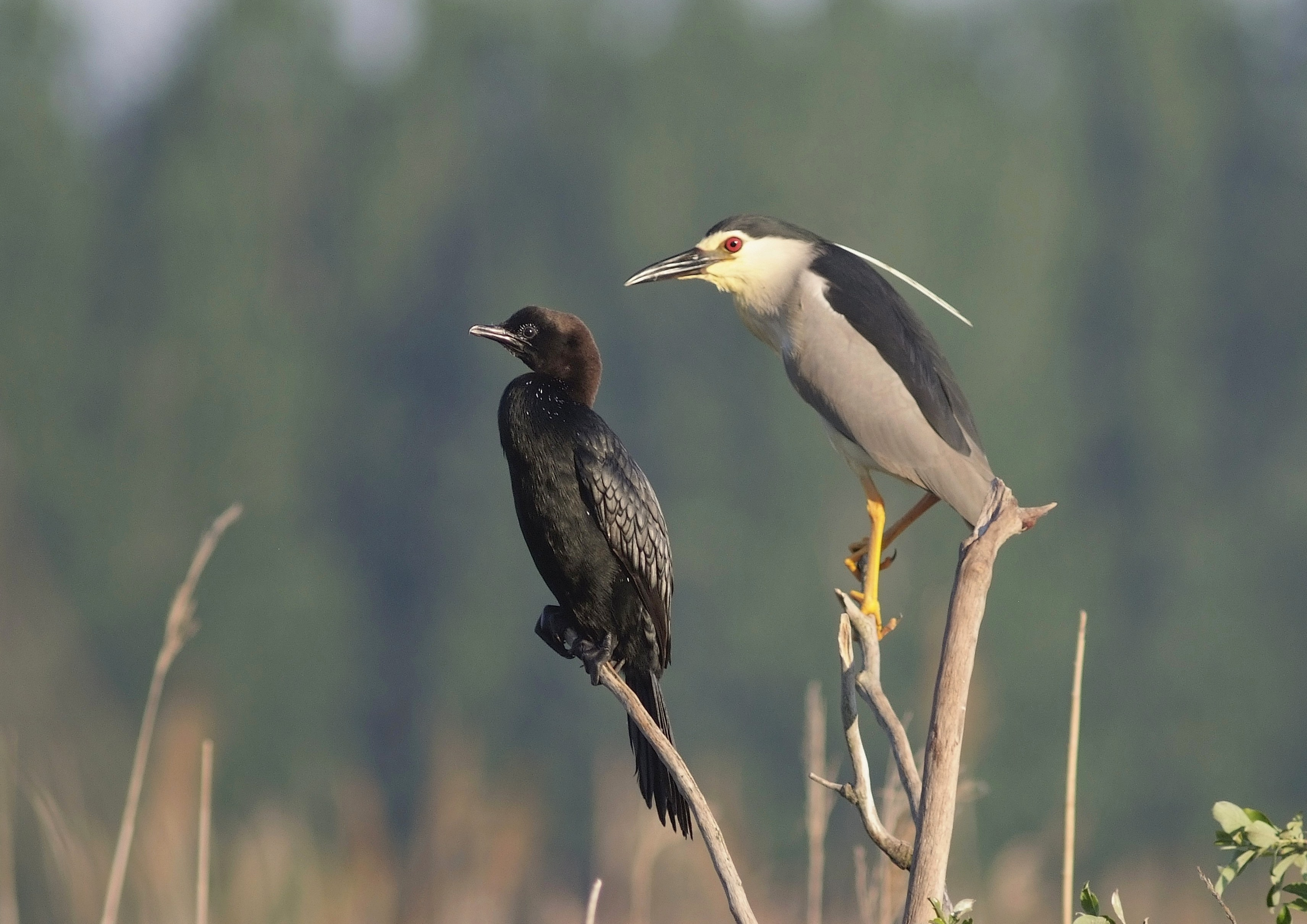 Microcarbo pygmeus & Nycticorax nycticorax