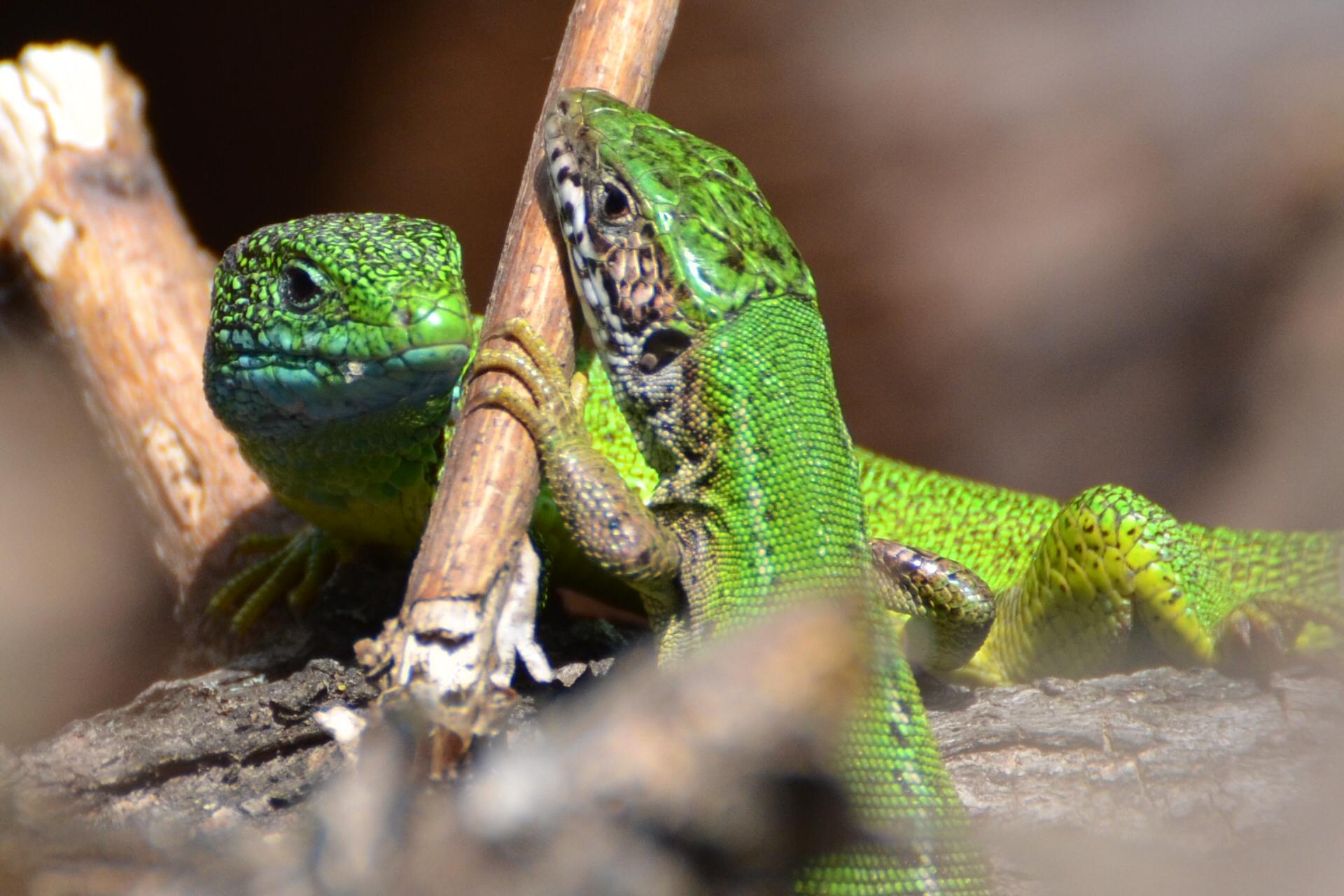Lacerta viridis 2