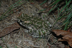 Bufo viridis 2