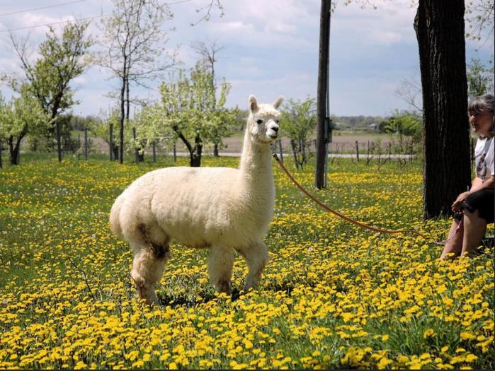 Alpacas of Eighth and Mud