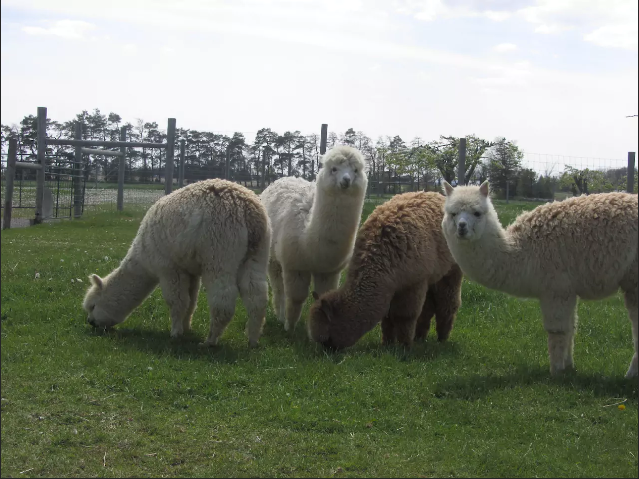 Alpacas of Eighth and Mud