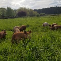 Eckholm Farm Whidbey Island WA Pastured Pork