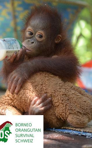 Tagesration Milch für verwaiste Orang-Utan-Babys spenden