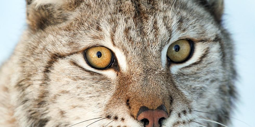 Krachtcirkel Lynx