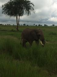 Elephant grazing in the Masaai Mara