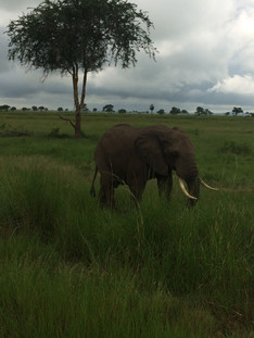 Elephant grazing in the Masaai Mara
