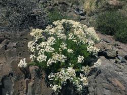 Kanarische Wucherblume