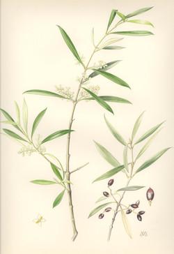 Wilder Ölbaum