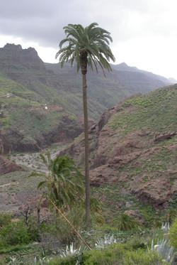 Kanarische Palme