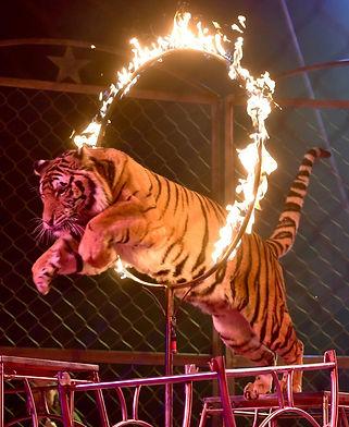 tiger-burning-hoop.jpg