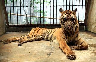 deathly-tiger.jpeg