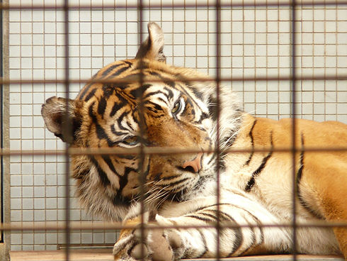 sumatran-tiger-77081.jpeg