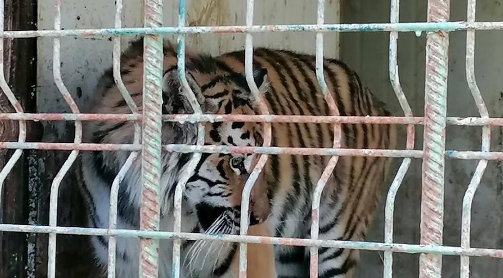tiger-ukraine.jpeg