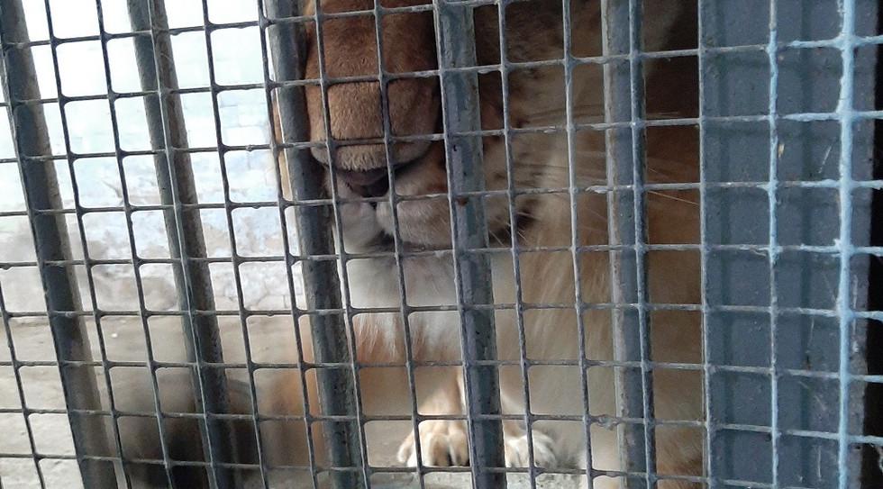 lion-ukraine-2.jpg