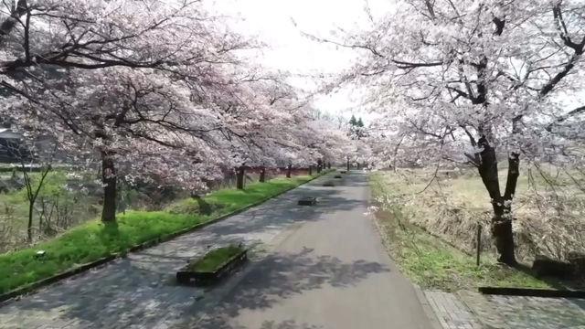 2020年安塚の桜と旧安塚高校の桜と校舎(動画)
