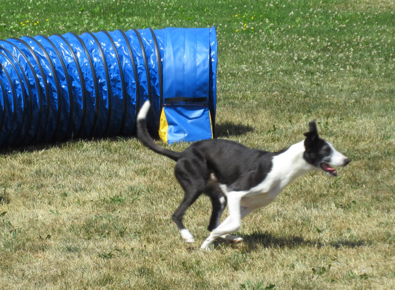 Whippet_tunnel website.jpg