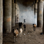 Sunter. Goats under the toll road