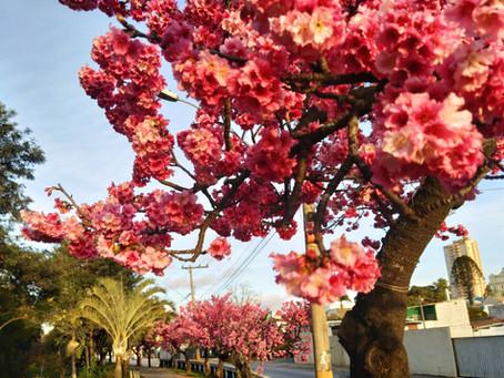 Florada das Cerejeiras deixa clima de inverno agradável em Piedade