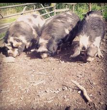 Philli, Arataki and Philli the Kune Kune Pigs
