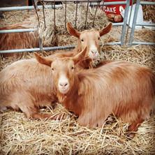 Feast and Fiddles the Golden Guernsey Goats