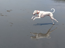 The Gift of Freedom for my Sighthounds