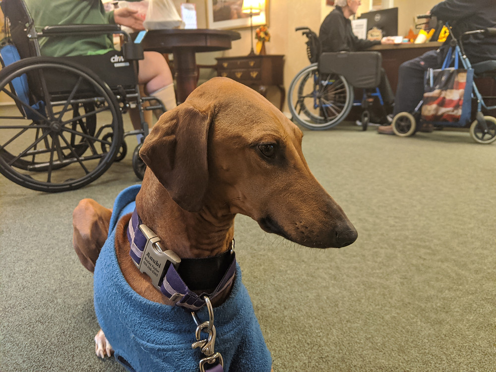 Anubi (2 years) at one of his therapy dog visits- note the wheel chairs, walker, and other medical equipment