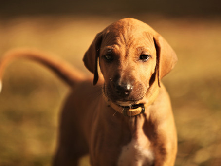 The Great Debate: Puppy Vaccinations & Socialization