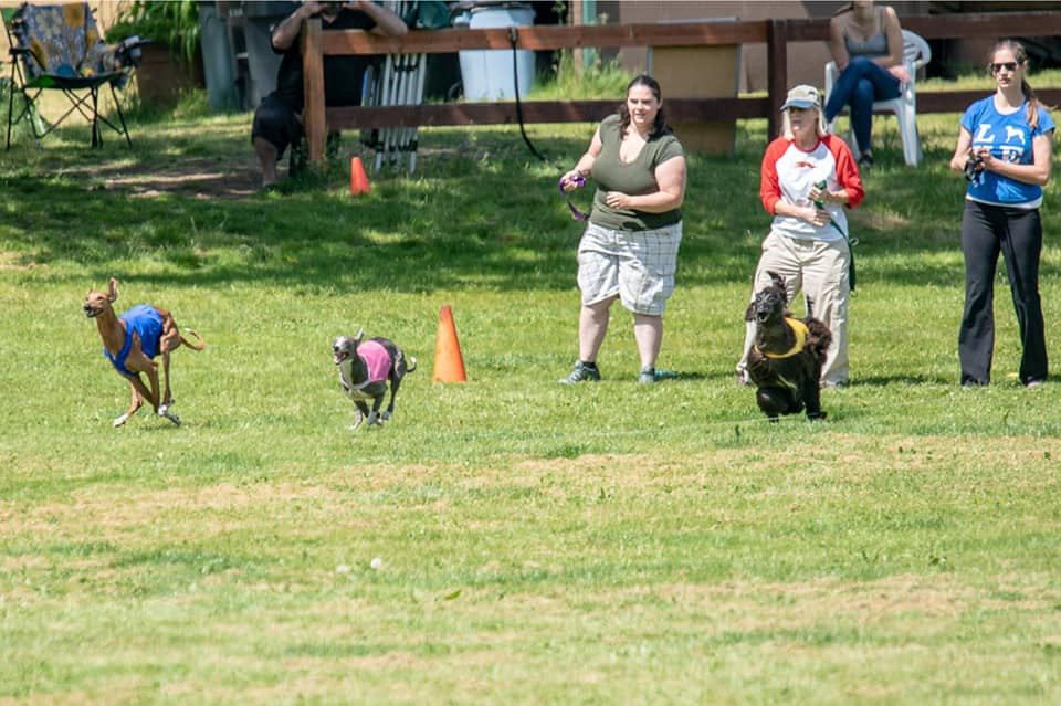 Anubi, Indy the whippet, and Ruthie the Afghan in a Best in Field run.  Photo by Laurie Gregory.