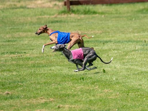 Tally-Ho! Lure Coursing, Fast CAT, and CATs