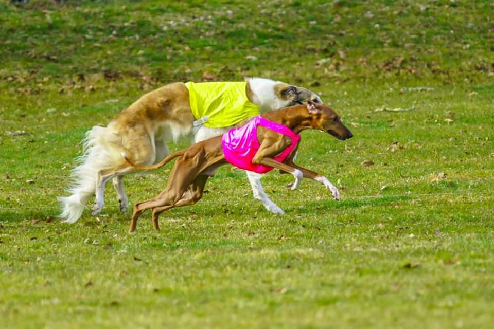 Anubi and Theo the Borzoi running for Best in Field. Photo by Laurie Gregory.