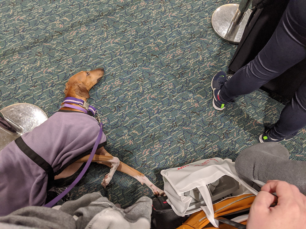 Anubi (2 years) in his settle behavior waiting in the rental car line coming home from Orlando.  Note the stranger right ahead of us and that I have a rolling suitcase with bags dangling off of it.