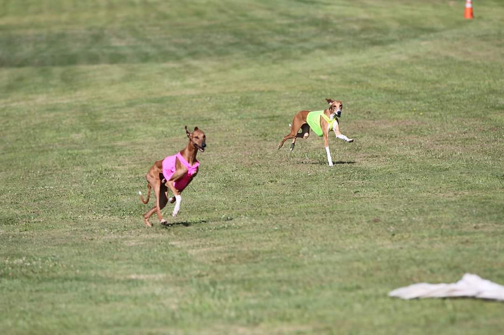 Anubi and Amidi competing at breed level after being tied.  Photo by Lisa Stine.