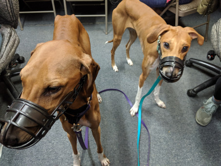 Muzzles - Not Just for the Aggressive Dog