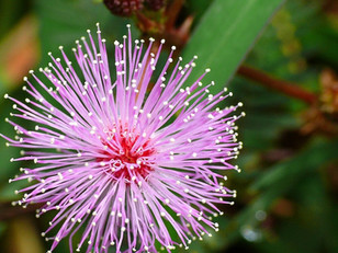 Clearing Parasites with Mimosa Pudica Seed