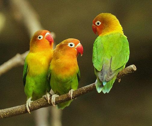 Lovebird - Other (handfed)