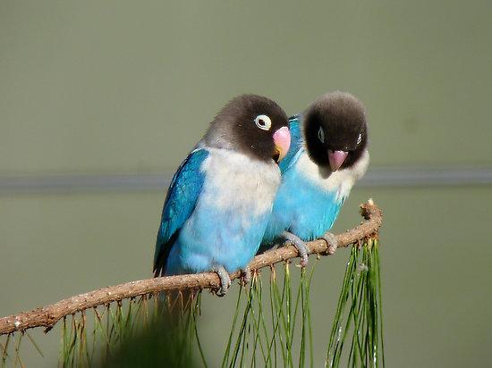 Lovebird - Masked