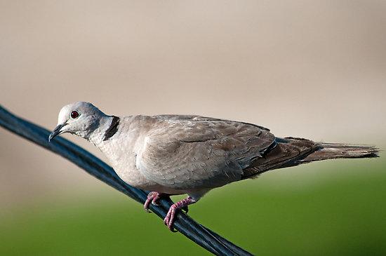 Dove - Ringneck (pair)