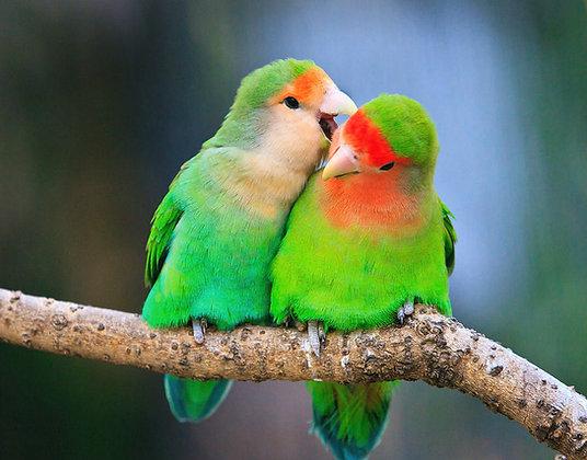 Lovebird - Peachface