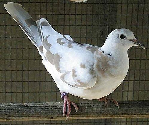 Dove - Pied (pair)