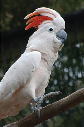 Moluccan