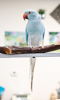 Female Blue White Headed White Tail Indian Ringneck