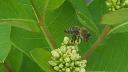 Thank you bees! Pollinating some milkweed for the butterflies and creating honey for our hives