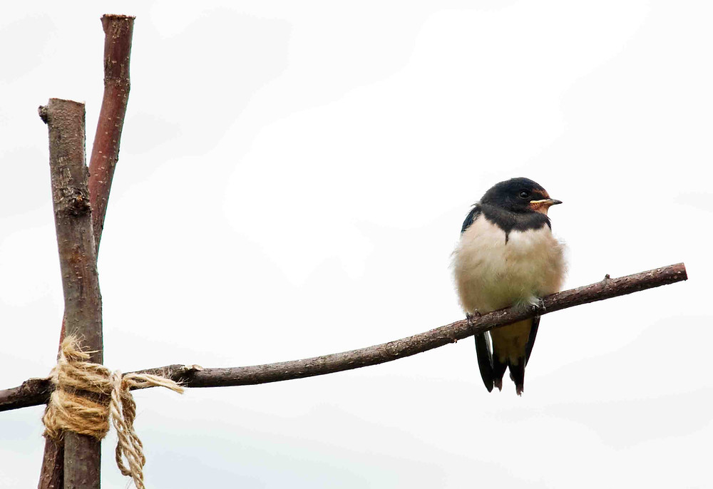 Swallow sitting on bean pole
