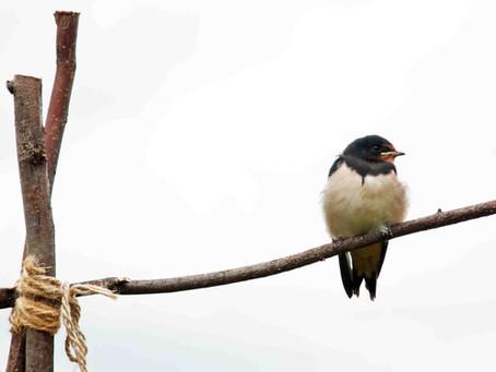 I Follow the Swallow