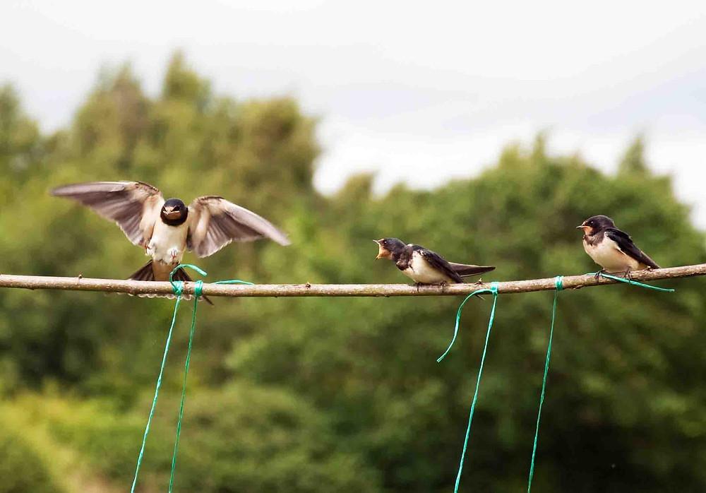 Three swallows on a bean trellis