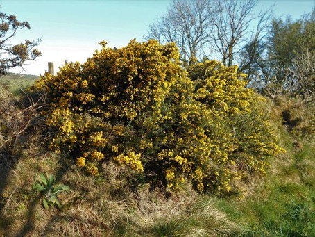 Gorse, The Unsung Hero of our Hedgerows