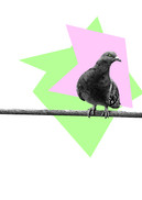 pigeon fond blanc E. De Jaham.jpg