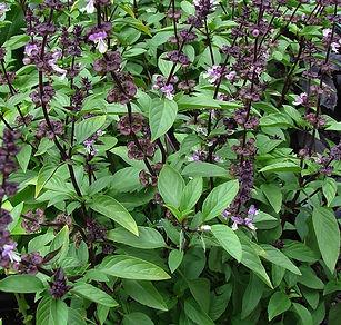 Basilic-Thai-Ocimum-basilicum-thyrsiflor