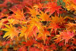 Redleaf Japanese Maple